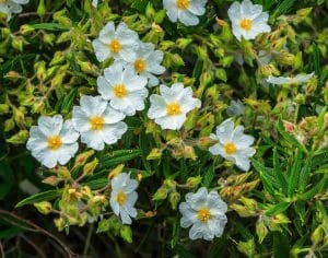 Los cistus son arbustos de flores simples