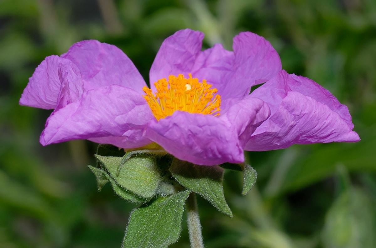 El Cistus incanus es un arbusto de flores rosadas