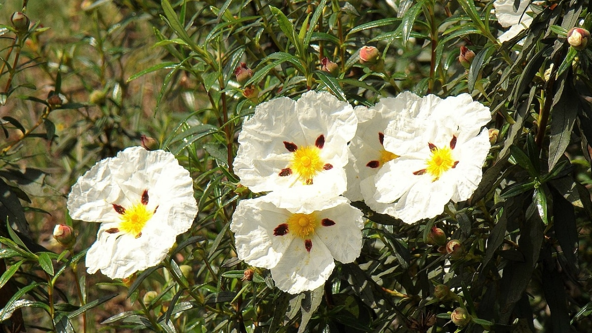 El Cistus ladanifer es un arbusto que da flores blancas