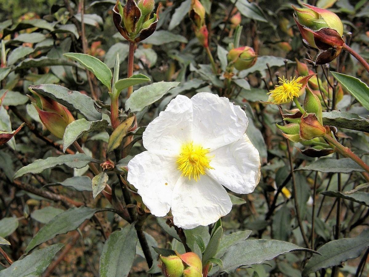 El Cistus laurifolius es una planta de flores blancas