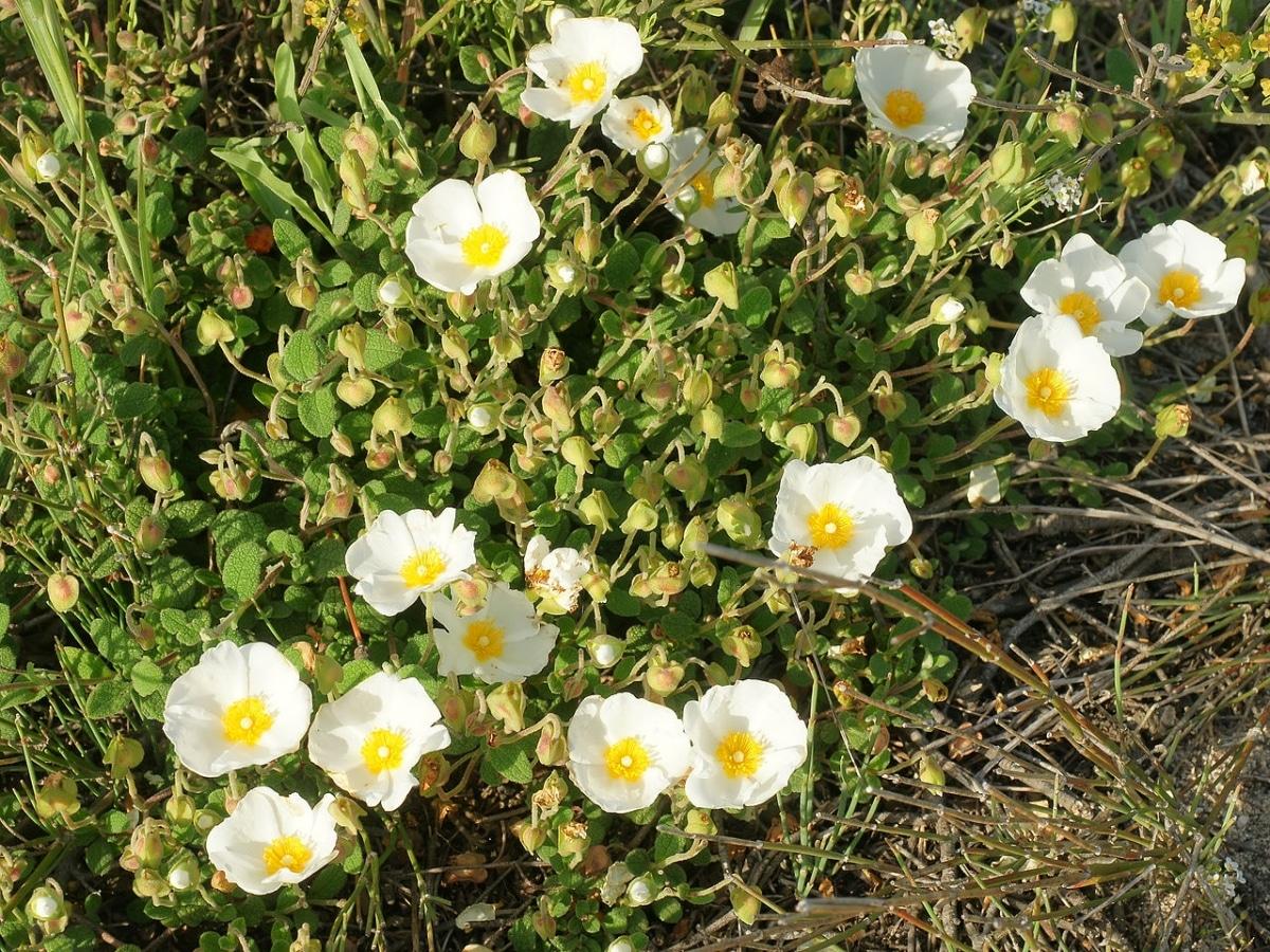 El Cistus salvifolius es un arbusto que produce flores blanquecinas