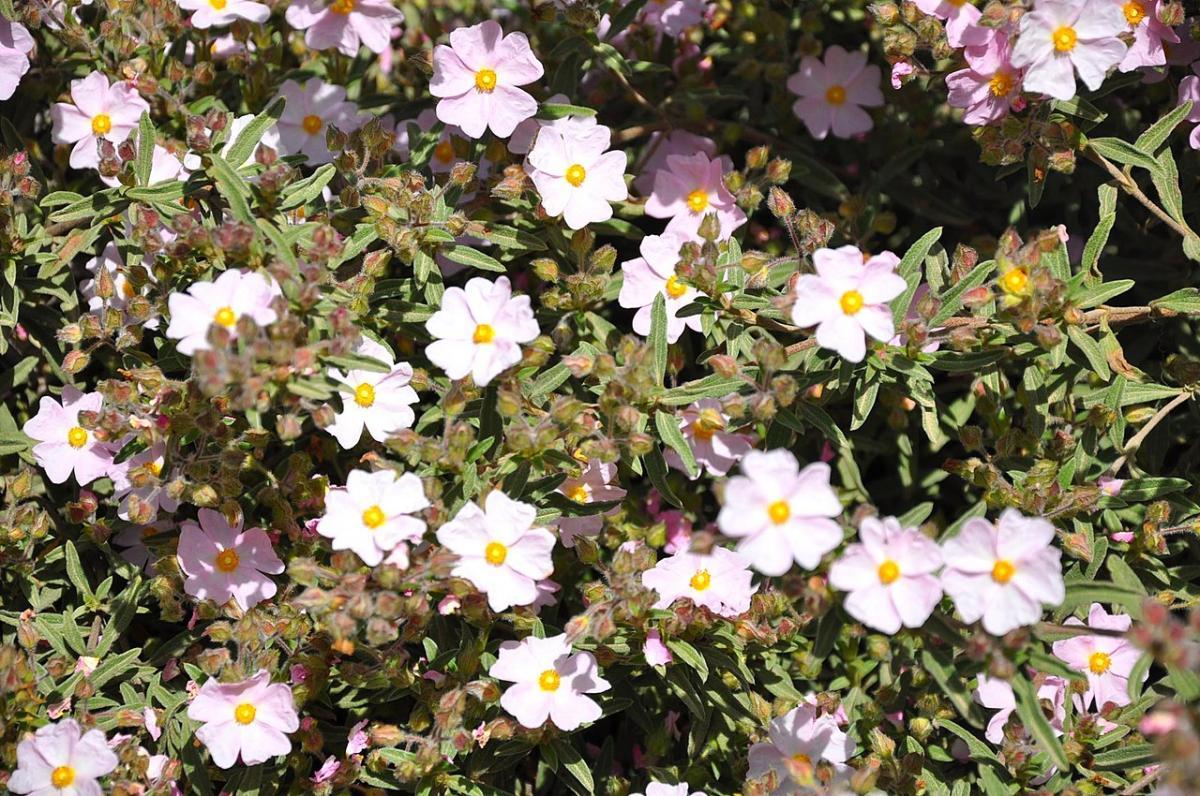 El Cistus skanbergii es un híbrido de flores rosas