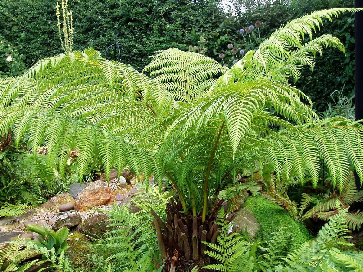 La dicksonia es un helecho arbóreo que soporta el frío