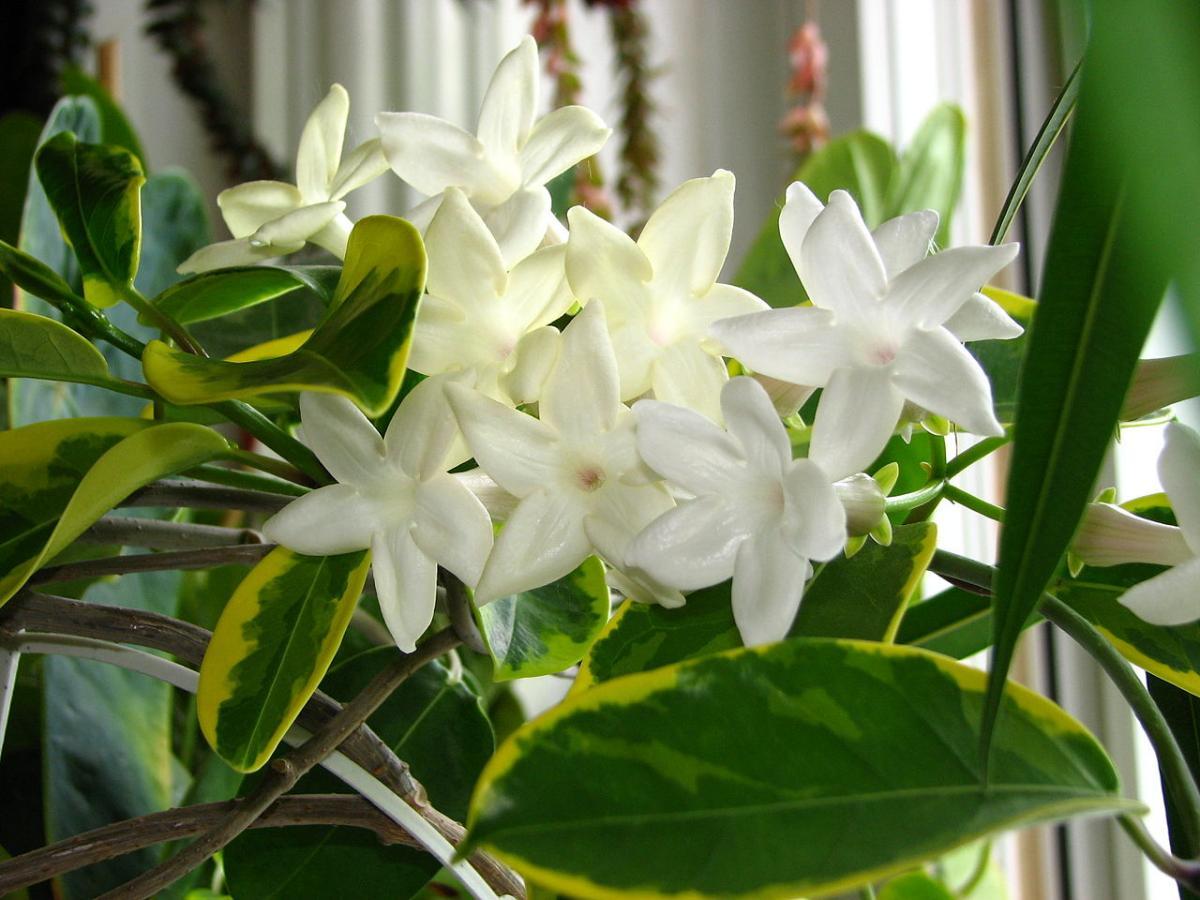 El estefanotis es una trepadora de flores blancas
