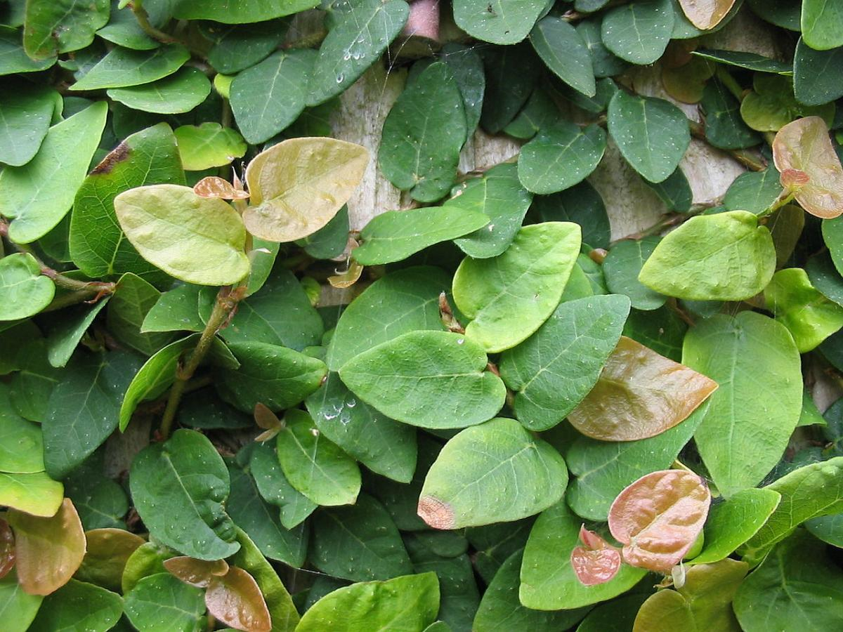 El Fiocus pumila es una planta trepadora para maceta