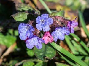 Las flores de la Pulmonaria son pequeñas