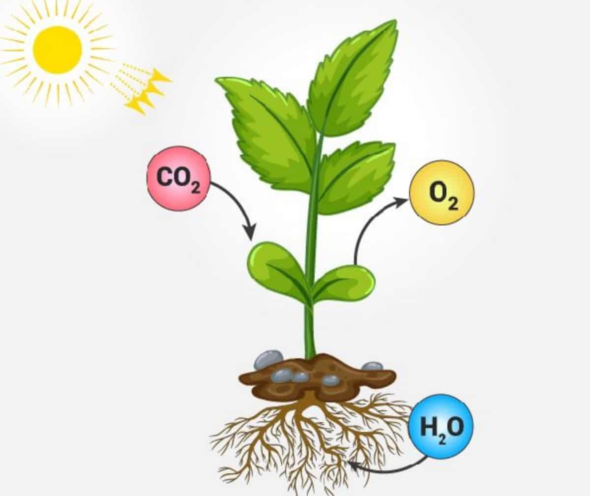 La fotosíntesis es esencial para las plantas