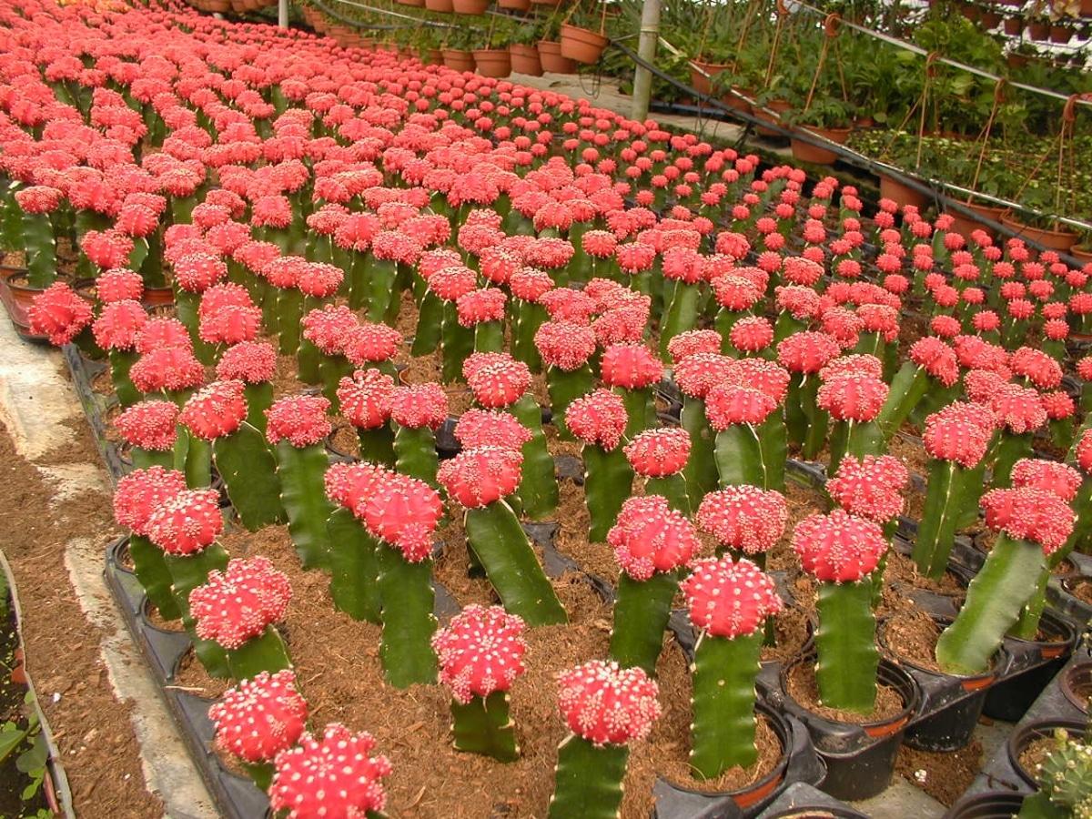 Los Gymnocalycium son cactus que se injertan a menudo
