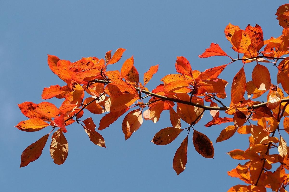 hojas carmin