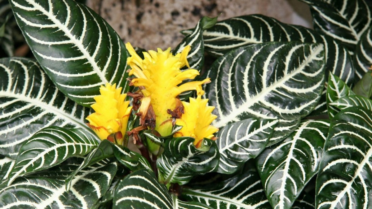 hojas de la Aphelandra