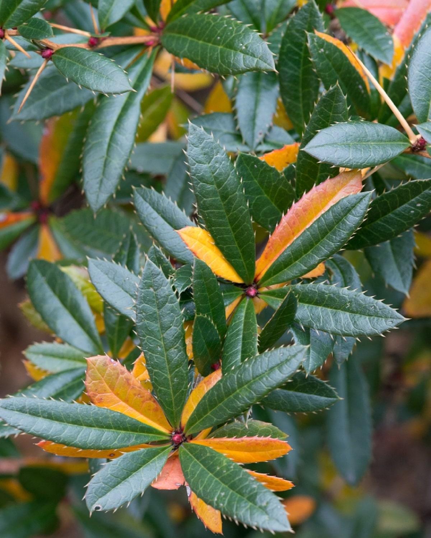 hojas de la berberis julianae