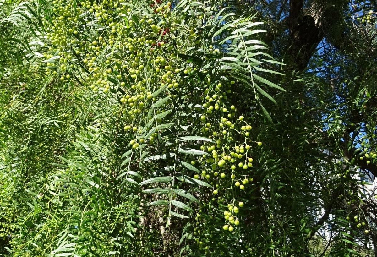 Las hojas de Schinus pueden ser caducas o perennes