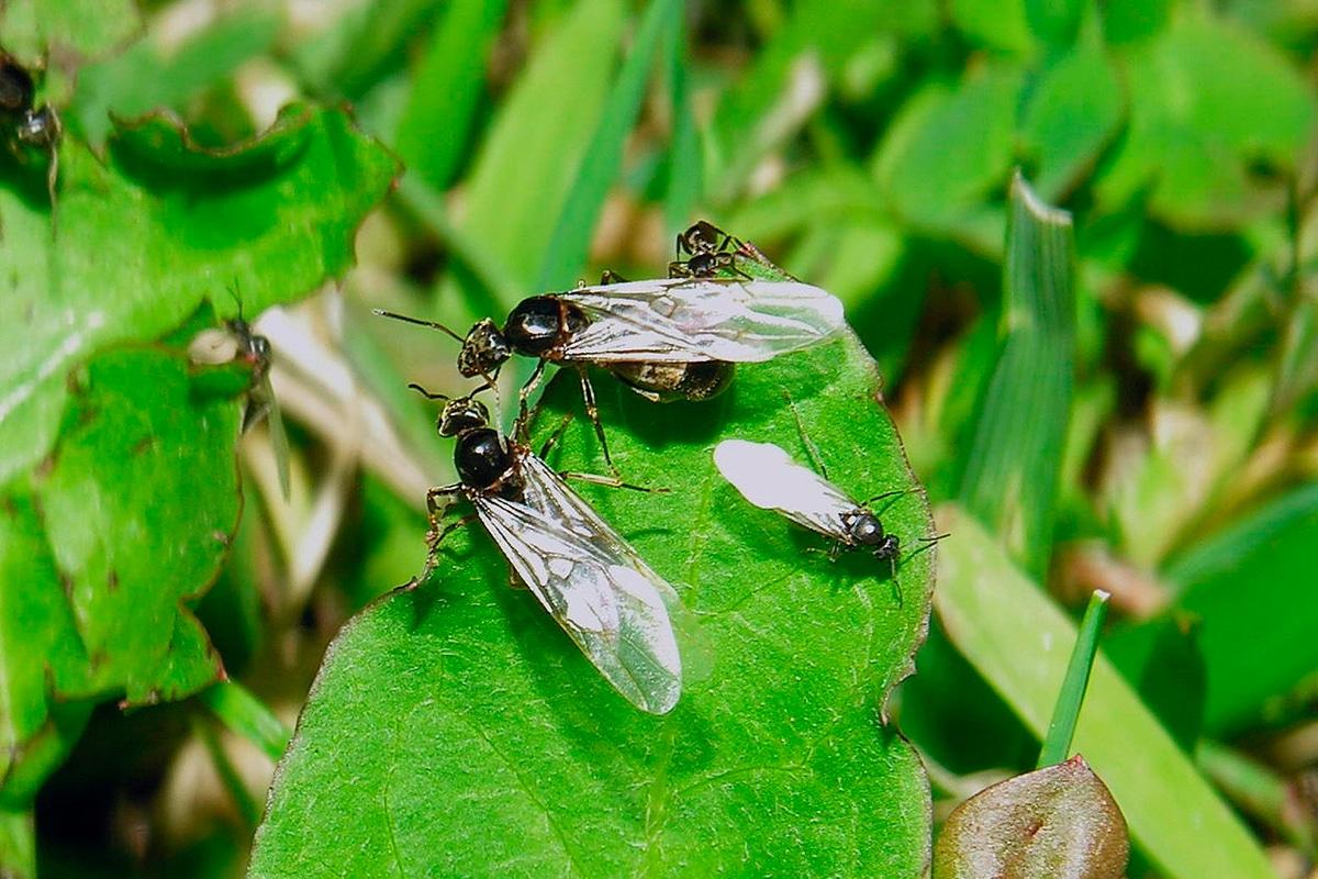 hormigas voladoras comiendo