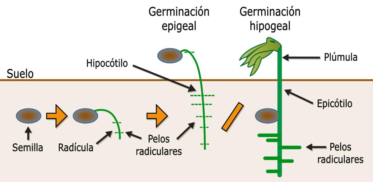 La germinación forma parte del ciclo vital de las plantas