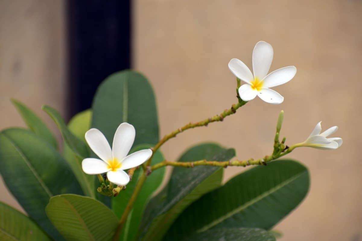 La Plumeria alba es un arbusto tropical