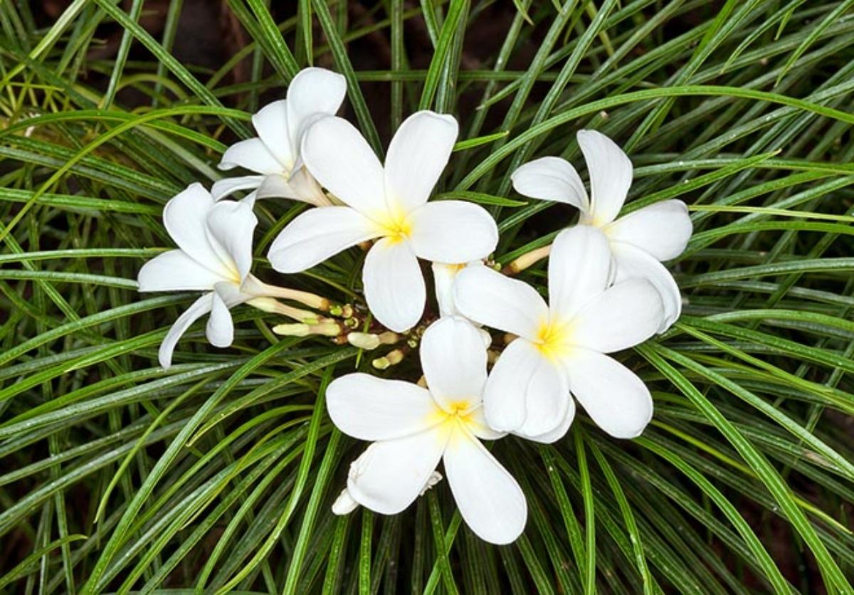 La Plumeria filifolia tiene las hojas estrechas