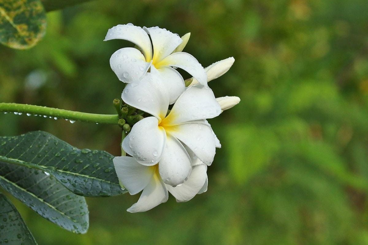 La Plumeria obtusa es un arbusto de flores blancas