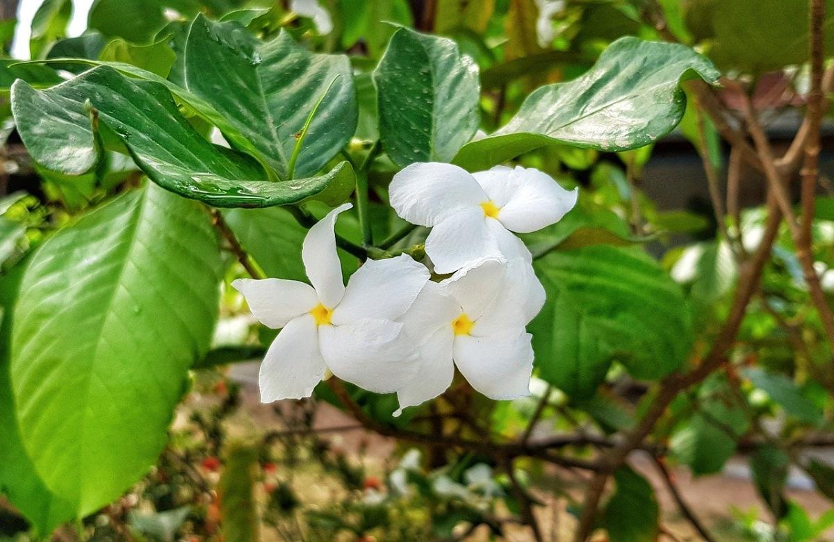 Hay muchos tipos de Plumeria, y uno es la Plumeria pudica
