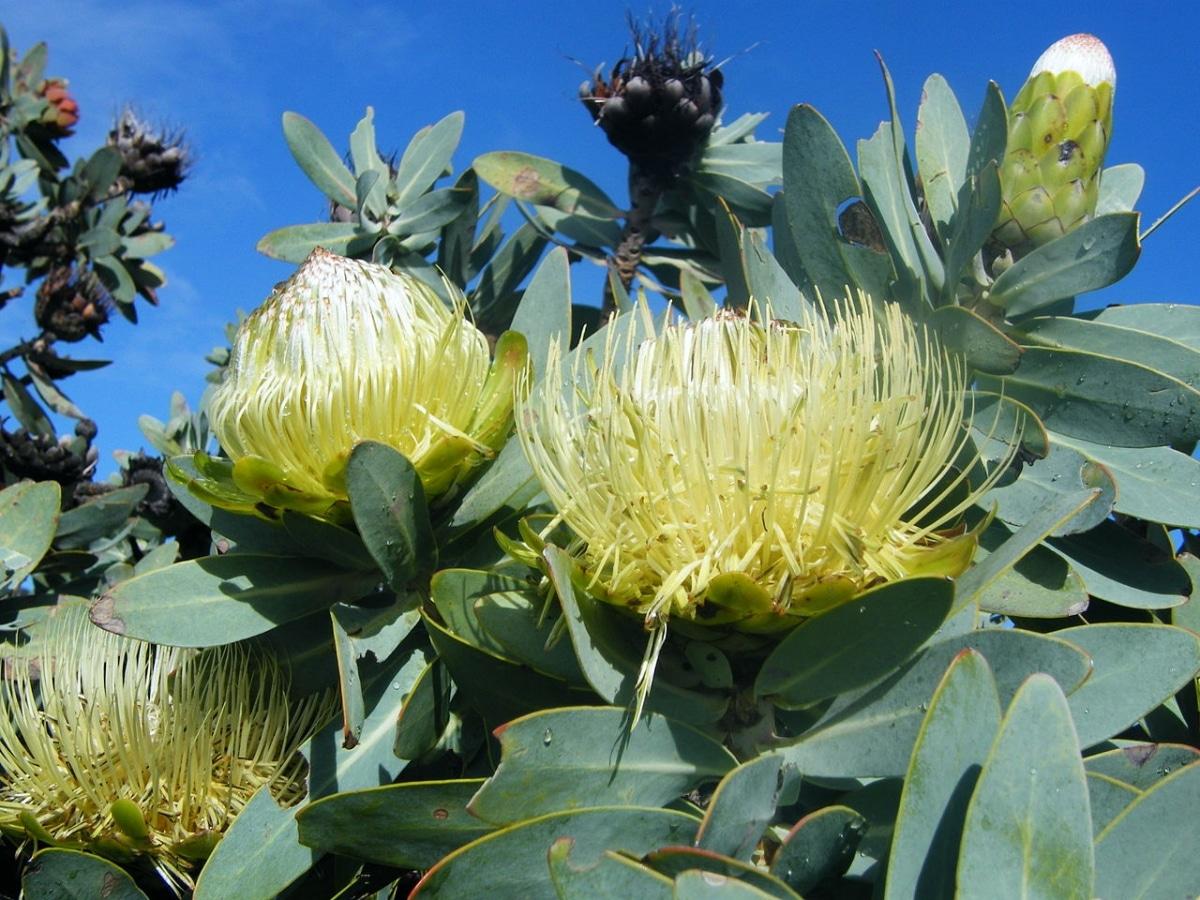 La Protea nitida es un arbusto que produce flores amarillas redondas