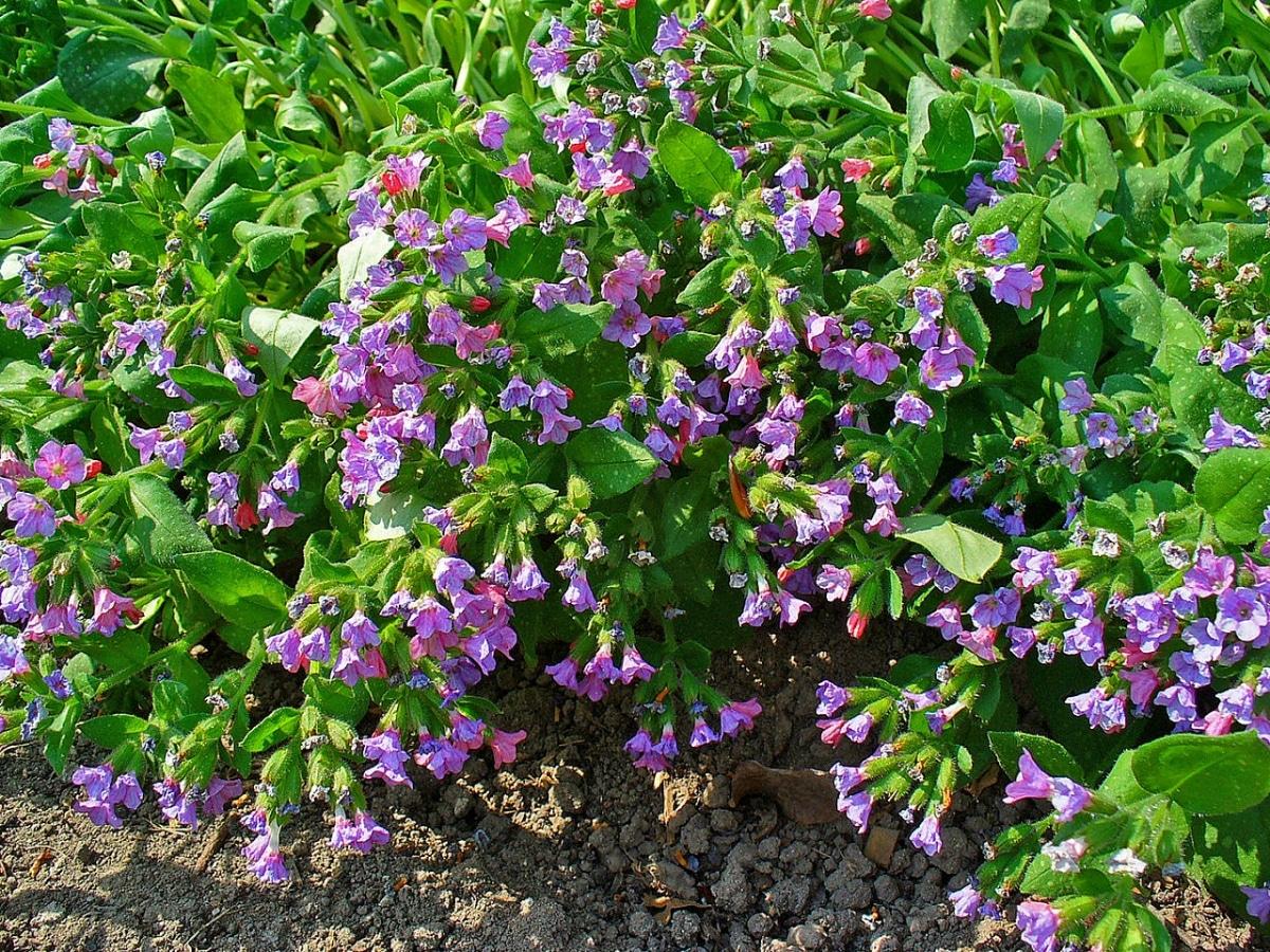 La Pulmonaria officinalis es una hierba rizomatosa