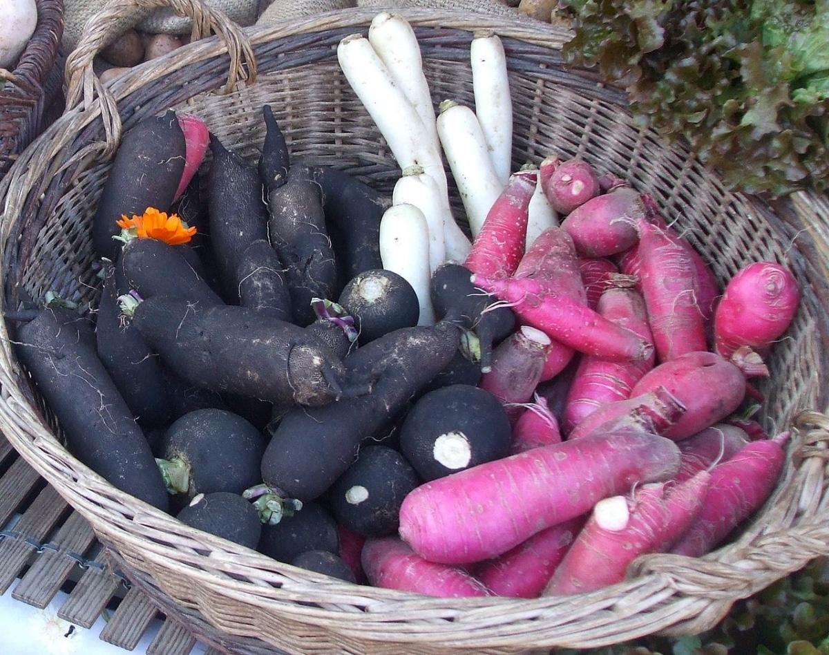 Hay muchos tipos de rábanos, y uno es el negro