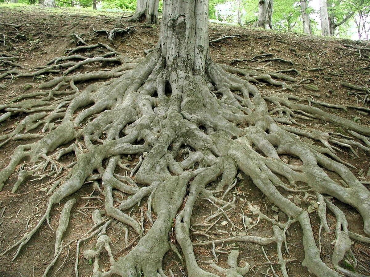 Las raíces absorben agua y sales