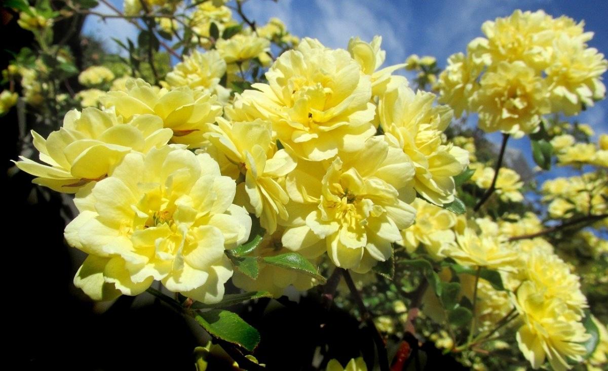 La rosa banksiae es una trepadora adecuada cultivar en maceta