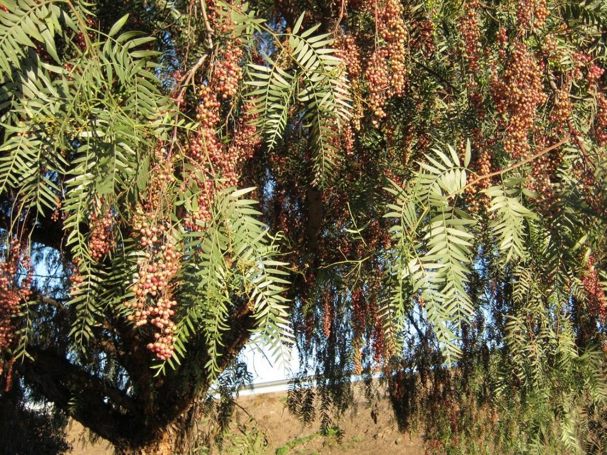 El Schinus areira es un árbol grande