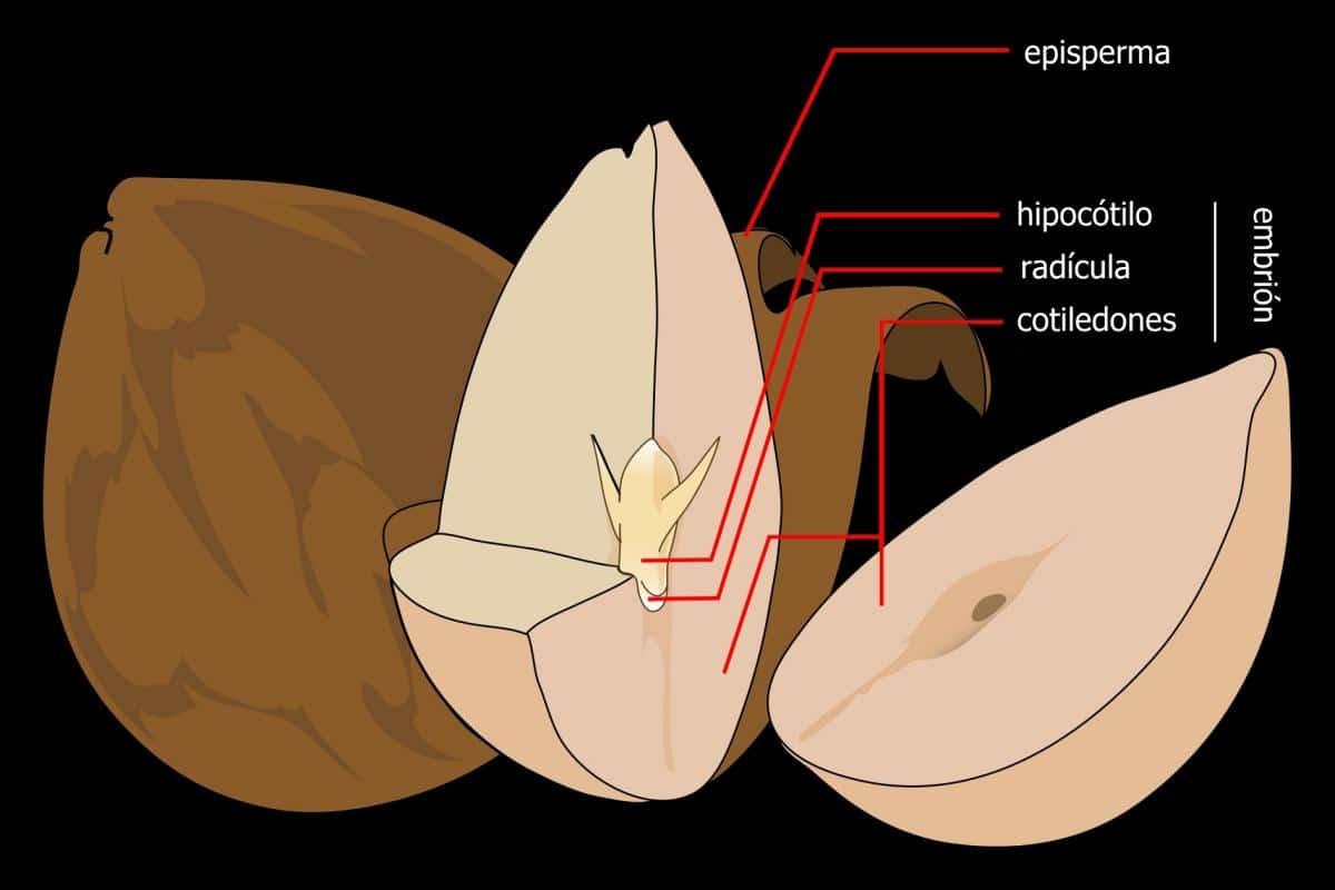 El hipocótilo es una parte esencial de la semilla