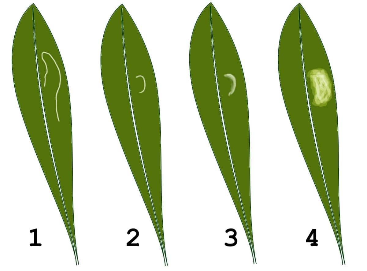 Los síntomas de prays se ven claramente en las hojas