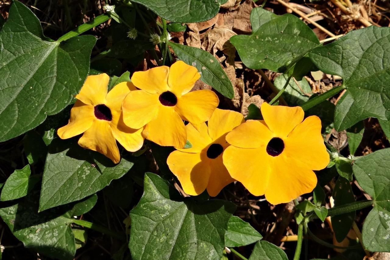 La thunbergia alata es pequeña y da flores amarillas
