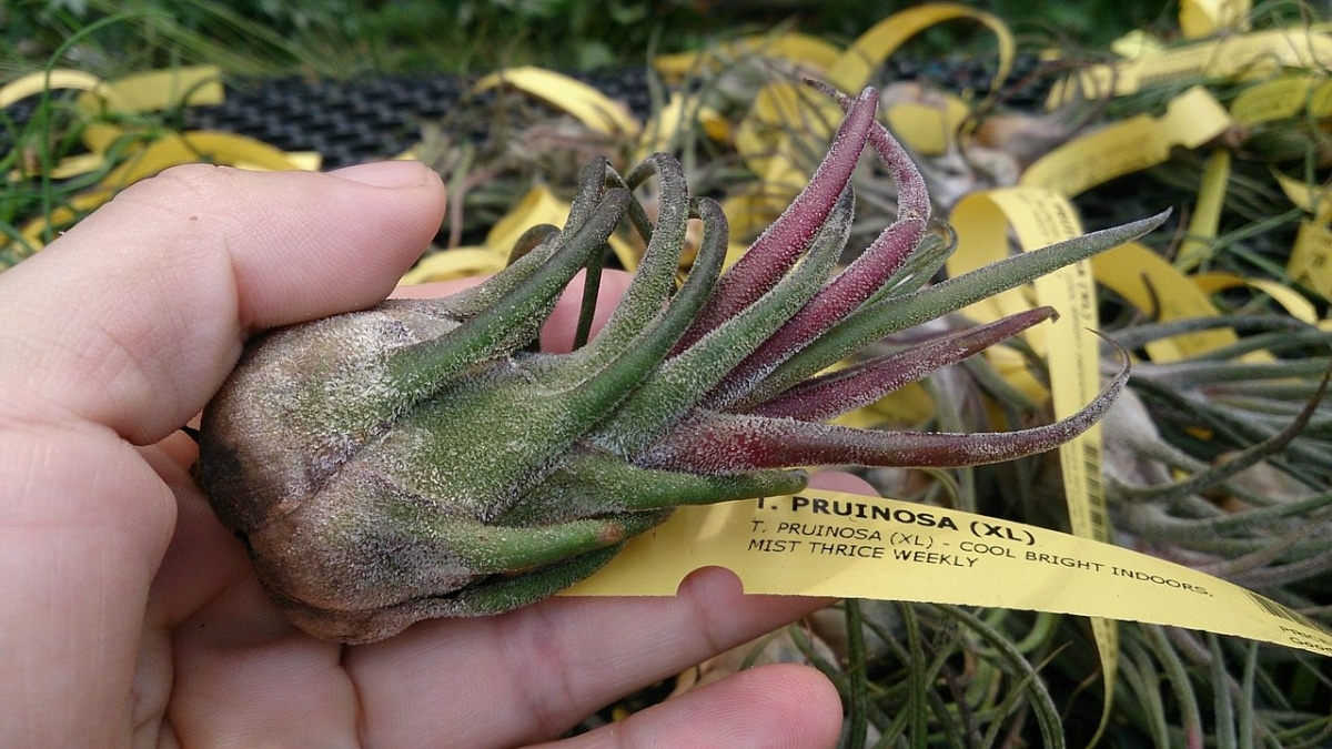 La Tillandsia pruinosa es una planta epífita