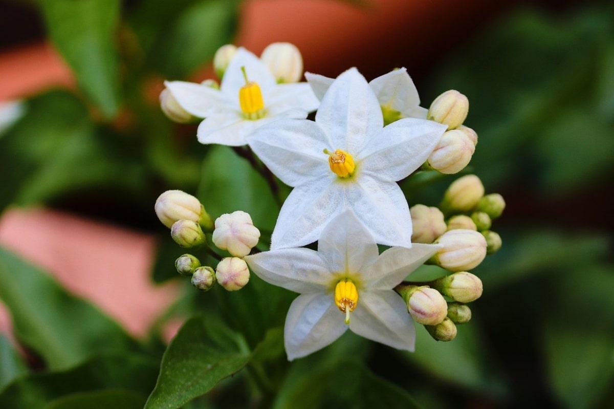 Hay muchas trepadoras que se pueden cultivar en maceta