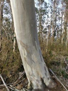 El tronco del eucalipto de las nieves es blanco