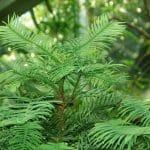 La Wollemia nobilis es una conífera primitiva