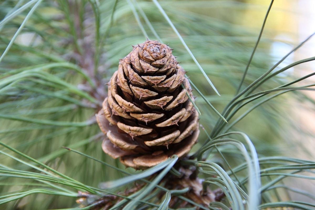 El cono de Pinus ponderosa es marrón