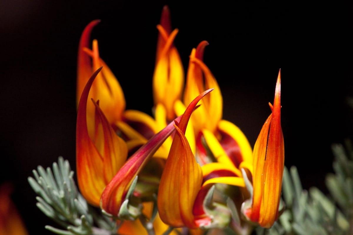 El Lotus berthelotii es una planta con flores curiosas