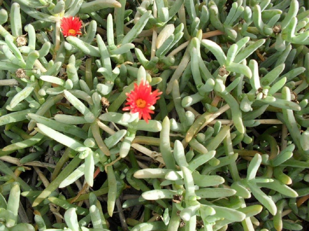 Malephora crocea con sus flores