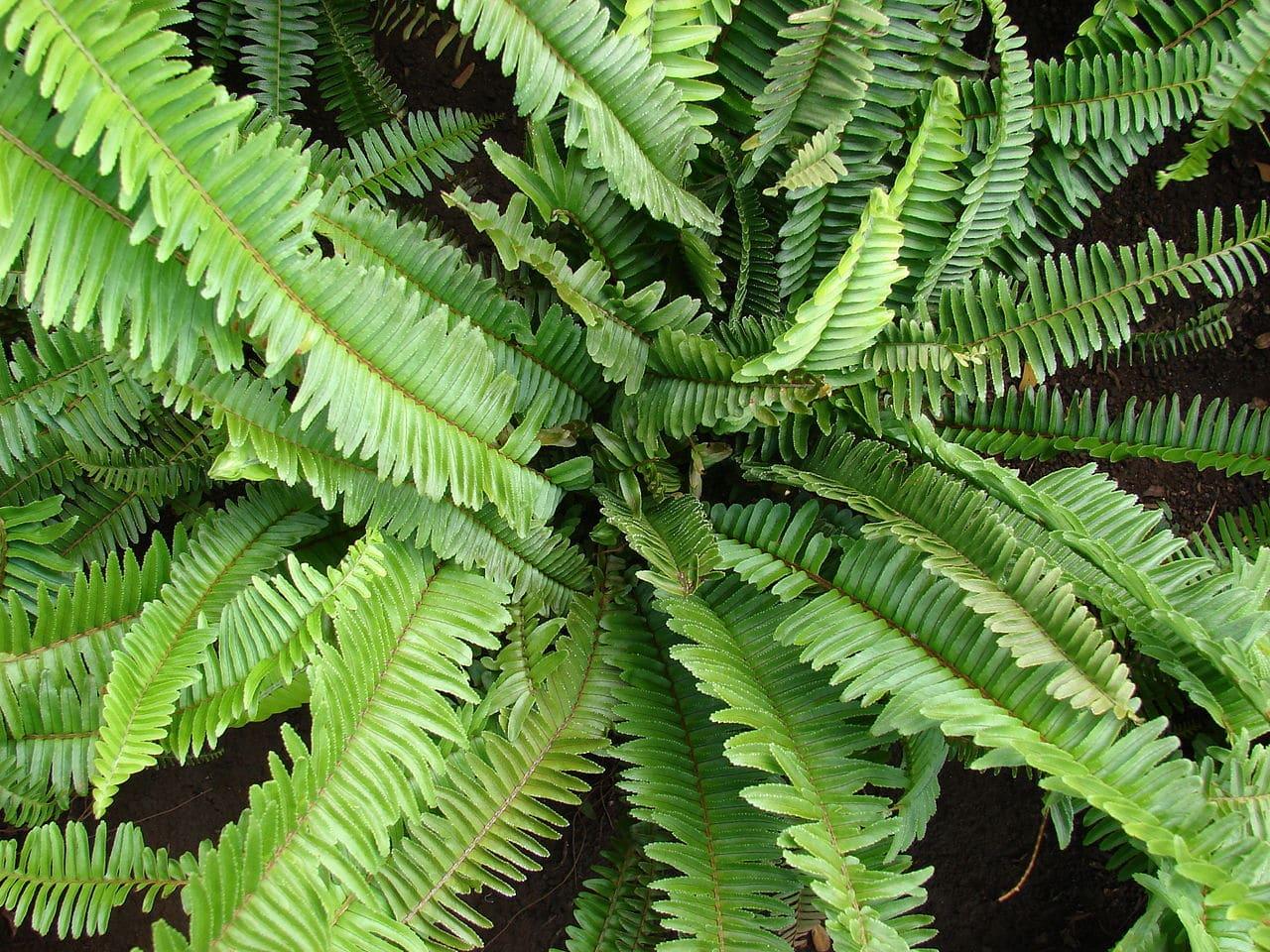 El Nephrolepis cordifolia es una planta verde que absorbe la humedad del ambiente