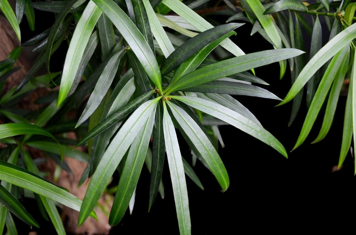 El Podocarpus neriifolius es una conífera grande