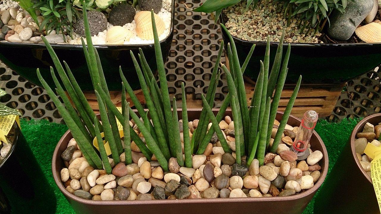 La Sansevieria bacularis es una planta verde