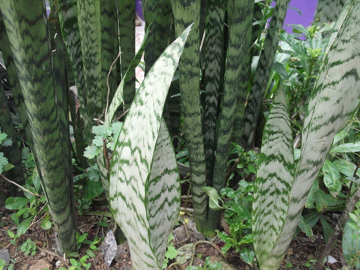 La Sansevieria zeylanica tiene las hojas verdes