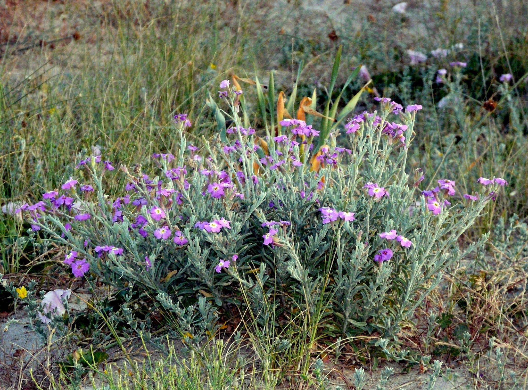 El alhelí de mar produce flores