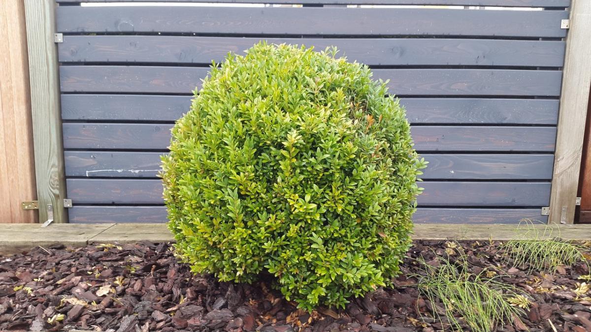 El boj es un tipo de arbusto muy común