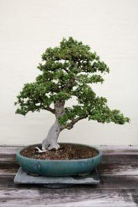 El bonsai de Carmona microphylla es bonito