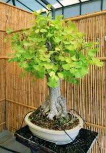 El bonsai de ginkgo es fácil de cuidar