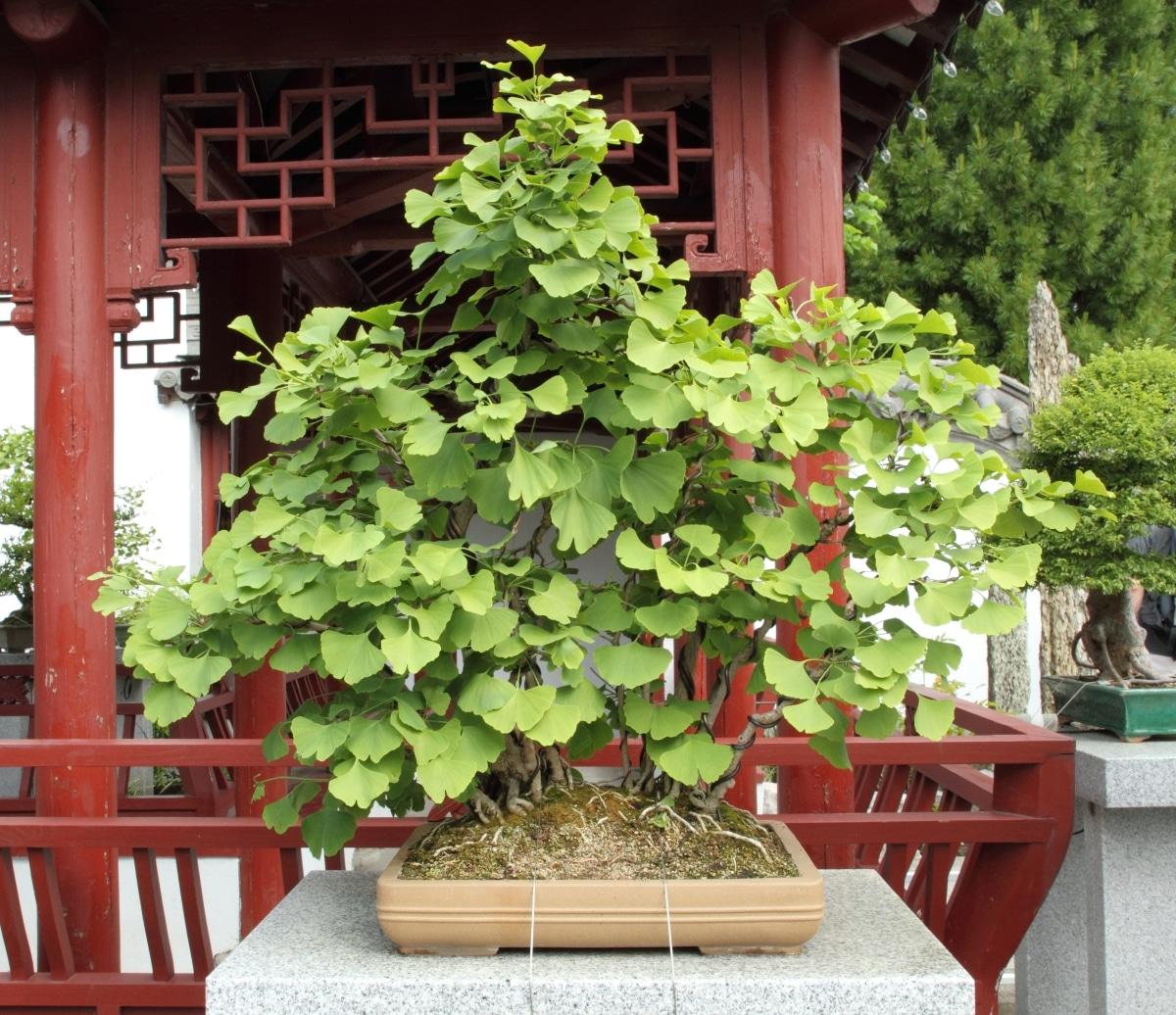 El bonsái de Ginkgo es una planta muy decorativa