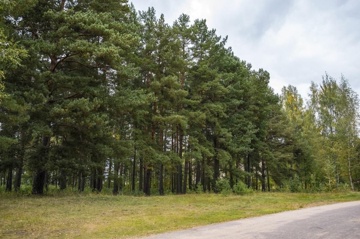 Hay muchos tipos de pinos distintos