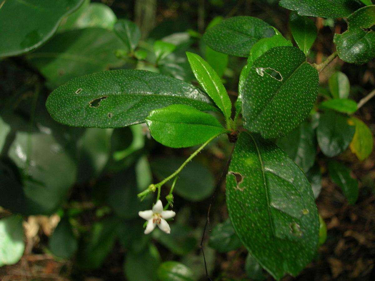 La Carmona microphylla es un arbusto caducifolio