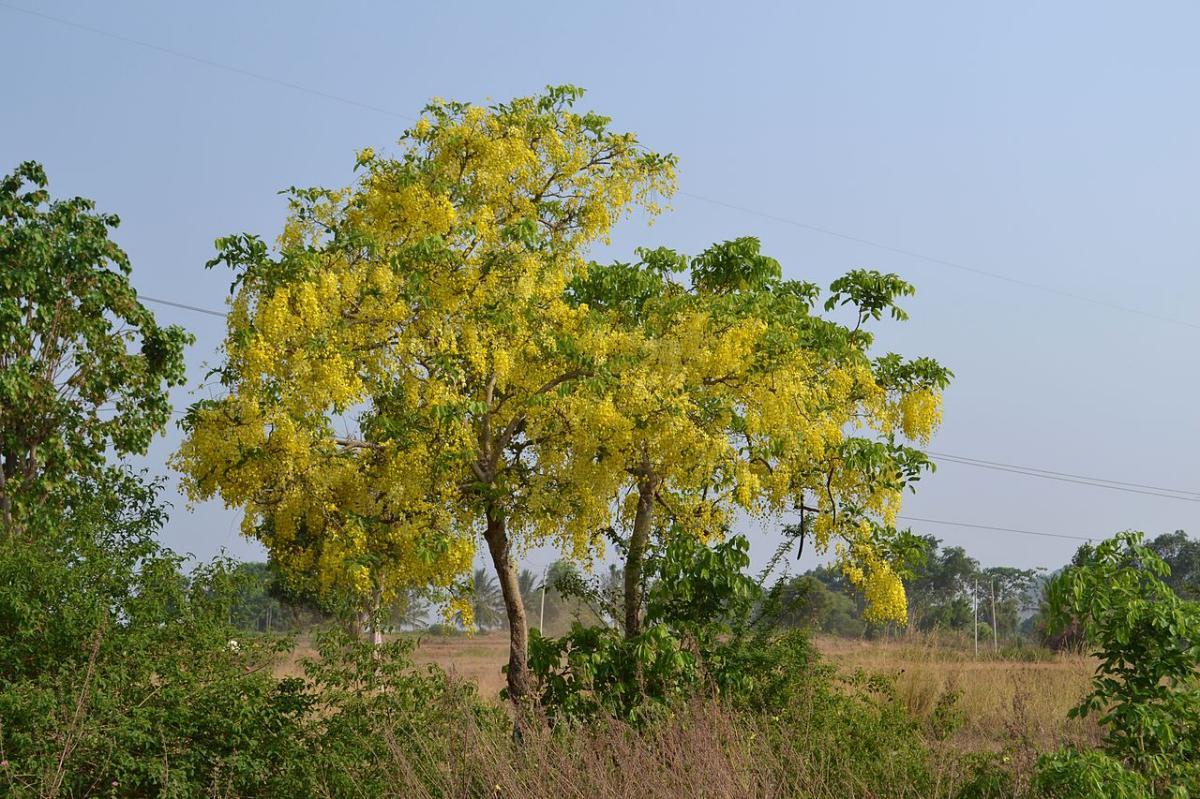 La Cassia fistula es un árbol de flores amarillas